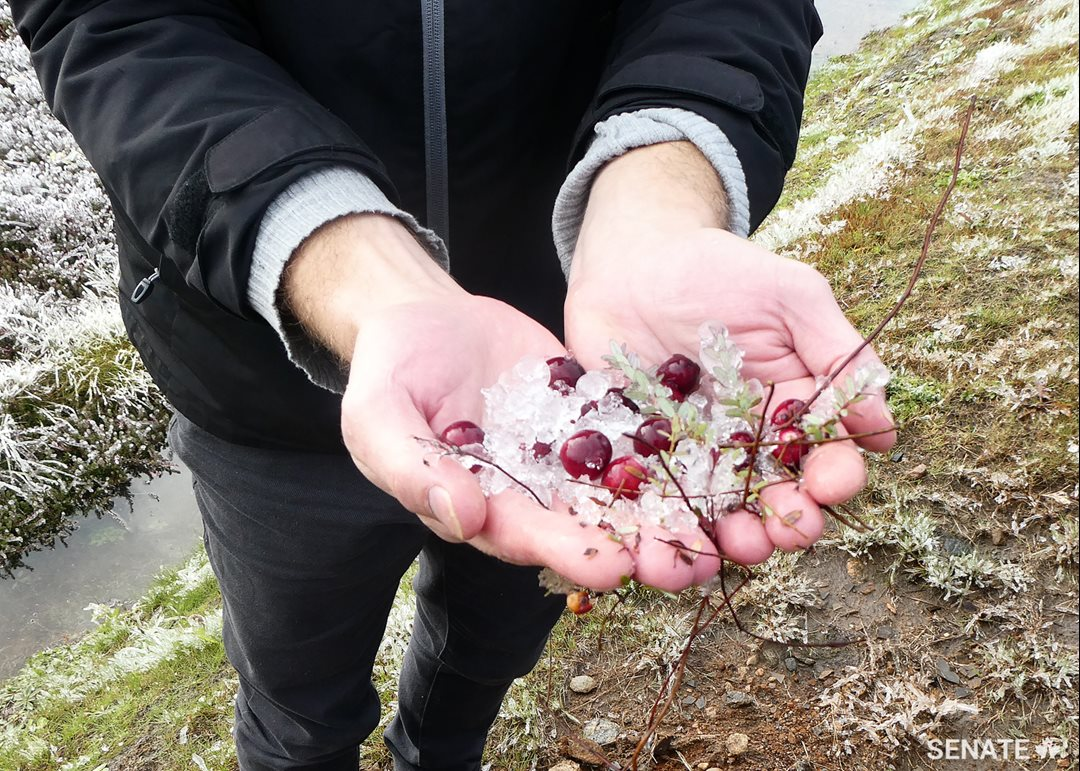 Senators see that the cranberry is particularly resistant to the cold; among the ice-covered fields and near-frozen bogs, the cranberries remained fresh and tender.